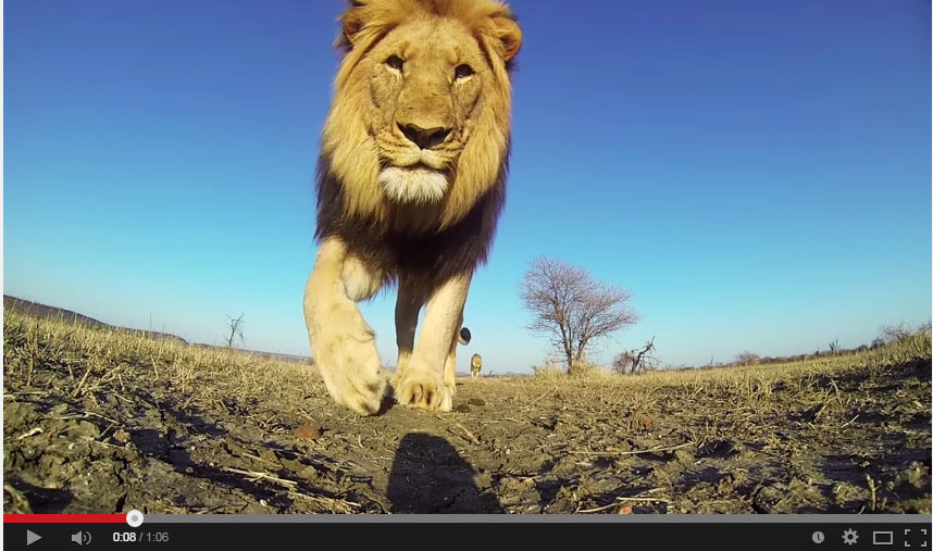 Video of the Week : GoPro Gets Upclose and Personal with Lions